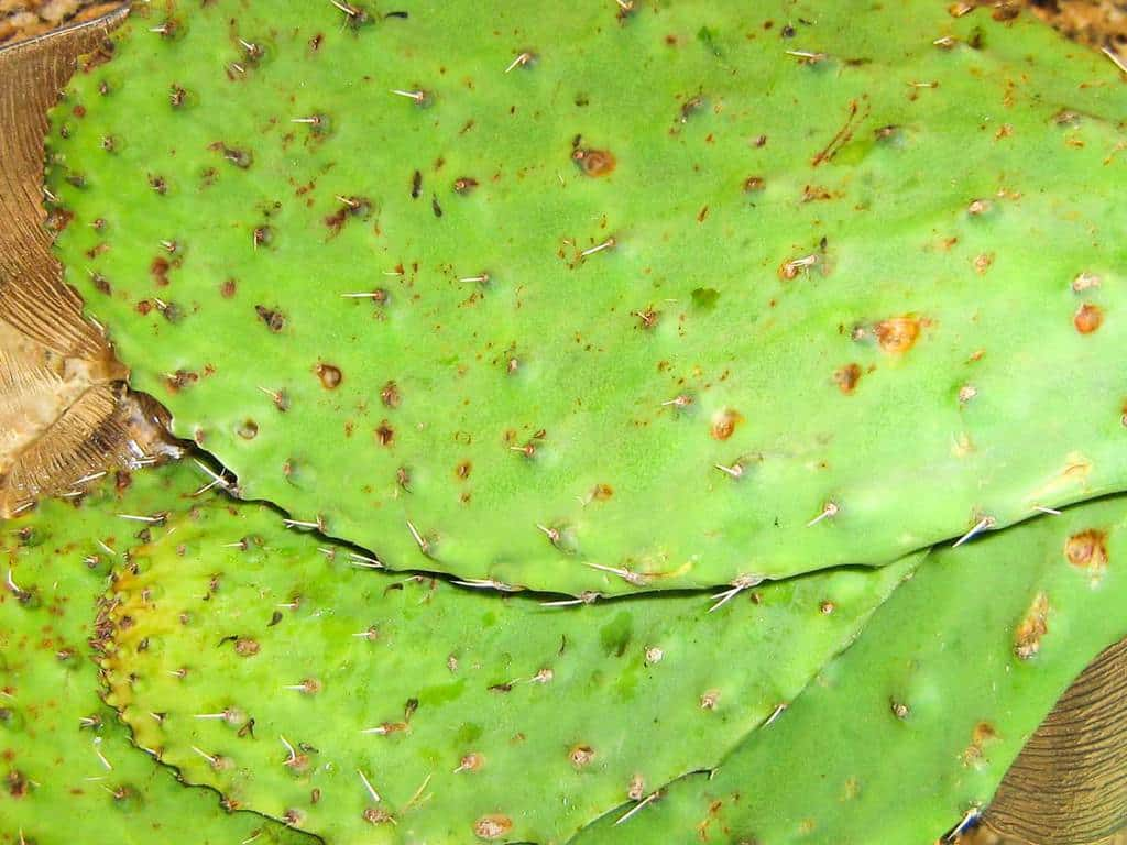 Whole nopales with spines